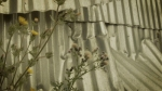 urban nature - corrugated iron fence weed plants london